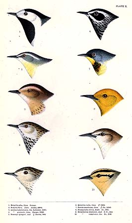 Warbler and other bird heads
