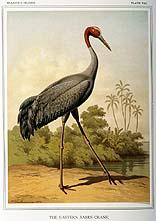 the Eastern Sarus Crane