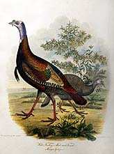 Wild Turkey, Male and Female.