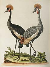 the crowned African Crane