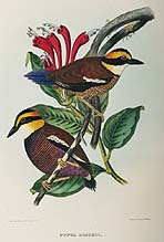 Pitta Boschii