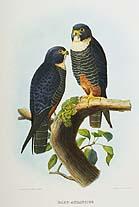 Falco aurantius