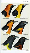 Heads of the adult males of the genus Icterus