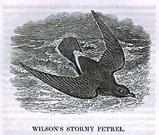 Wilson's Stormy Petrel
