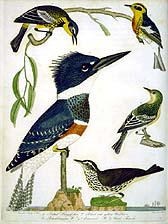 Belted Kingfisher, Warblers, Water Thrush