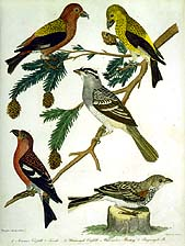 Crossbills and Buntings