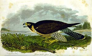 Great-footed Hawk