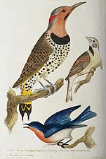 Gold-winged Woodpecker