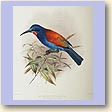 Red-throated Blue Bee-eater