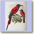 Green-throated Bee-eater