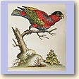 the first Black-capped Lory