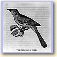 The Mocking bird [Turdus polyglottus]